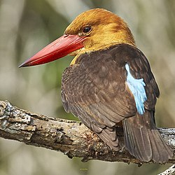 Brown-wingedKingfisher.jpg