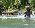 Brown Bear (20173010170).jpg