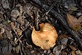 Brown Leafy Mushroom (5).jpg