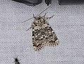 Bryophila domestica (37090286525).jpg