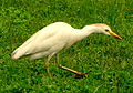 Bubulcus ibis (Garcita del ganado) (14234311014).jpg