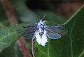 Buchenblattlaus Phyllaphis fagi 5821.jpg