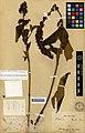 Buddleya collecté par Armand David 1869 holotype 3.jpg