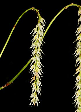 Bulbophyllum hirtum Orchi 6057.jpg