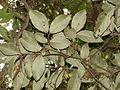 Bunchosia argentea.jpg