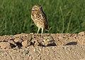 Burrowing Owls (24902598752).jpg