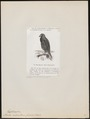 Buteo melanosternon - 1872 - Print - Iconographia Zoologica - Special Collections University of Amsterdam - UBA01 IZ18200047.tif