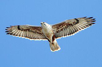 Ferruginous hawk - In flight as seen from below