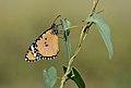 Butterfly Plain Tiger (Danaus chrysippus).jpg