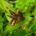 Butterfly from Madayipara DSCN2259.jpg