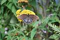 Butterfly on cloth of gold 0106.jpg