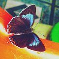 Butterflyuk.pm.jpg