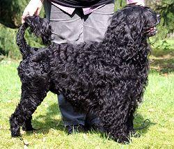 Cão de agua Português 2.jpg