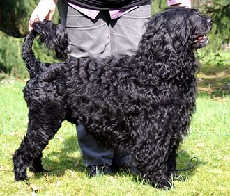 Water dog - A Portuguese Water Dog with its coat clipped in the classic water dog clip.