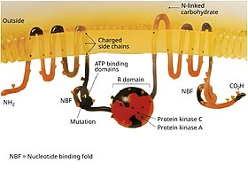 Cystic fibrosis transmembrane conductance regulator - Wikipedia