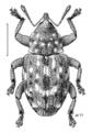 COLE Curculionidae Storeus albosignatus.png