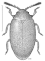 COLE Scirtidae Amplectopus pallicornis.png