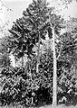 COLLECTIE TROPENMUSEUM Cacaoplanten in de schaduw van Castilloa-bomen op onderneming Getas Midden-Java TMnr 10012231.jpg