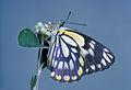 CSIRO ScienceImage 1040 Belenois java Pieridae.jpg