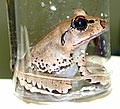 CSIRO ScienceImage 1425 Frogs being tested for chytrid fungus infection.jpg