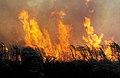 CSIRO ScienceImage 4293 Sugar cane burn prior to harvesting at Frank Balettas farm Brandon near Ayr Burdekin Irrigation Area SE of Townsville QLD.jpg
