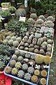 Cactuses - Plant Stall - Agri-Horticultural Society of India - Alipore - Kolkata 2013-01-05 2256.JPG