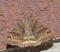 Caenurgina crassiuscula P1210100a.jpg