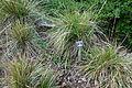 Calamagrostis nutkaensis - Regional Parks Botanic Garden, Berkeley, CA - DSC04511.JPG