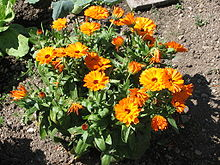 Calendula officinalis 3517.jpg