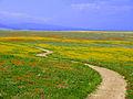 California Wildflowers (3361844880).jpg