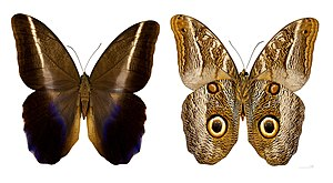 Owl butterfly - Caligo idomeneus - MHNT
