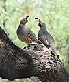 Callipepla gambelii -Tuscon -Arizona -USA-8.jpg