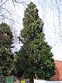Calocedrus decurrens tree.jpg