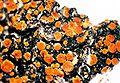 Caloplaca flavorubescens.jpg