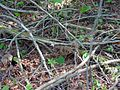 Calypso bulbosa habitat 1-mgrover (5097455185).jpg
