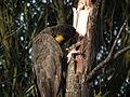 Calyptorhynchus funereus -Langwarrin, Melbourne, Victoria, Australia-8.jpg