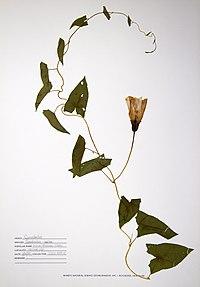Calystegia sepium BW-1988-0720-0276.jpg