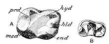 Cambridge Natural History Mammalia Fig 038.jpg