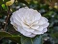Camellia × williamsii 'Jury's Yellow'. 31-03-2020 (d.j.b.) 04.jpg