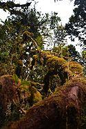 Cameron highlands moss forest.jpg