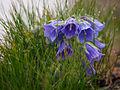 Campanula alpina-1.jpg