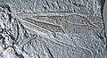 Camponotites silvestris GZG-W14552B wing.jpg
