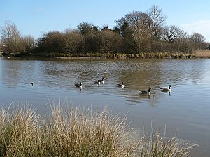 Canada Geese on Hendre Lake - geograph.org.uk - 721214.jpg