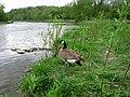 Canadian Goose (4572720572).jpg