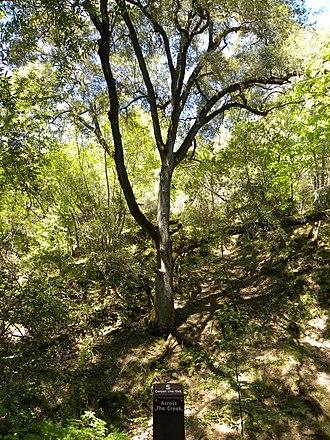 Uvas Canyon County Park - Image: Canyon live oak in uvas canyon