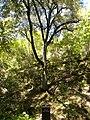 Canyon live oak in uvas canyon.jpg
