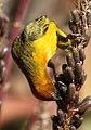 Cape Weaver, Ploceus capensis at Walter Sisulu National Botanical Garden - male (9648323260).jpg