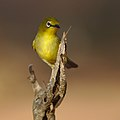 Cape White-eye, Zosterops pallidus, at Marakele National Park, Limpopo Province, South Africa (46677904511).jpg