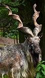 Capra falconeri Markhor Parc Bouillon 31082014 2.jpg