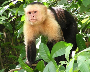White-headed capuchin Capuchin Costa Rica2.jpg